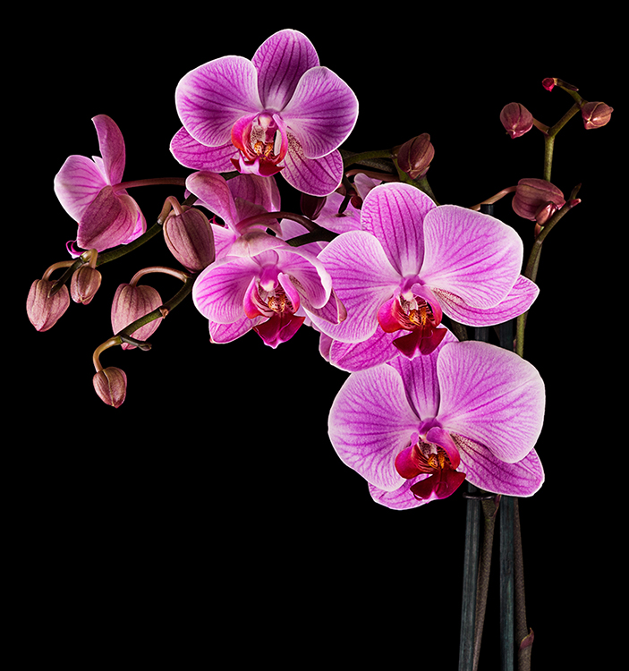Pink Orchid pink on black