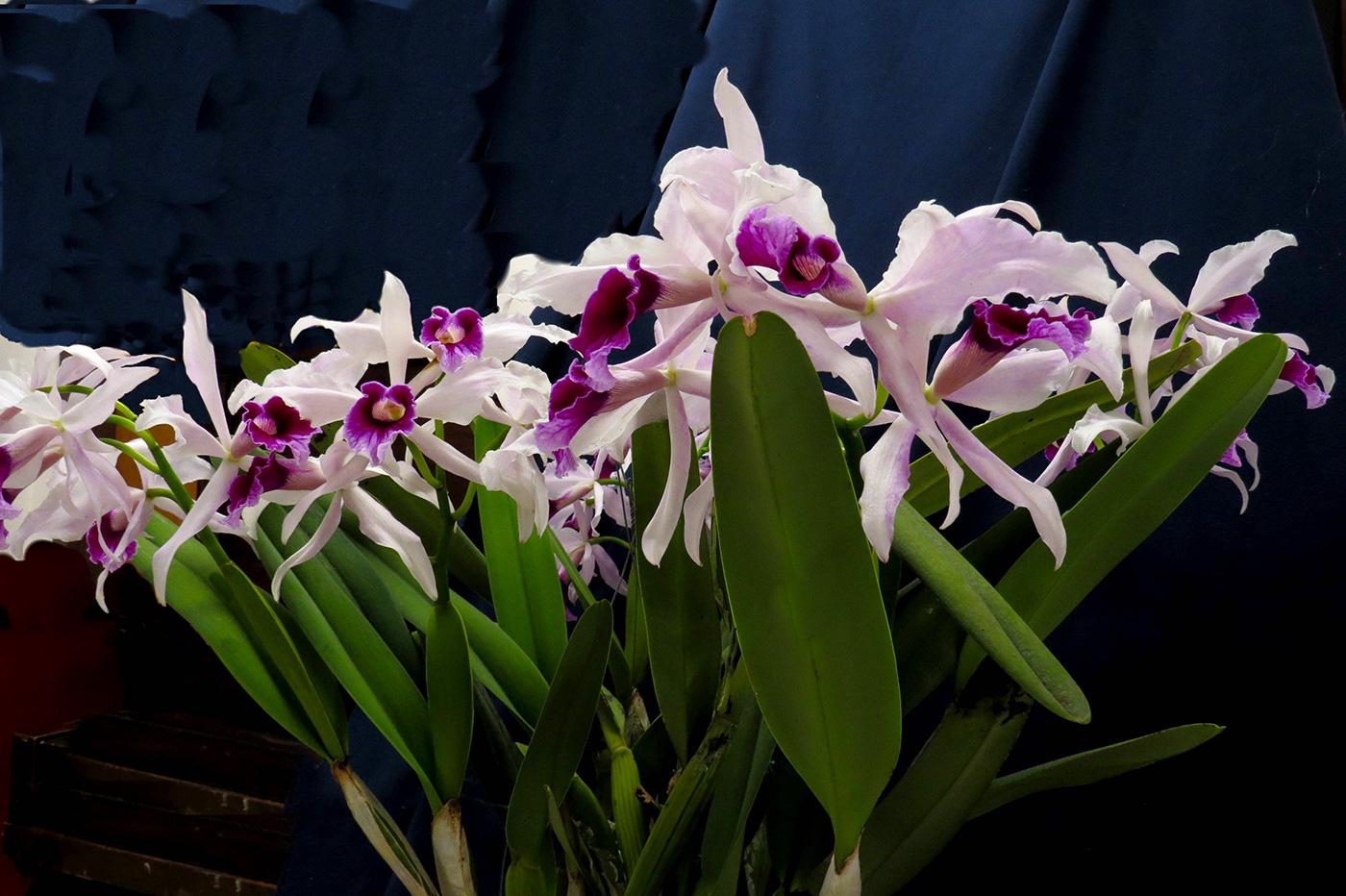 Cattleya (C.) purpurata 'Tovares'
