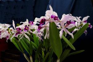 Cattleya-purpurata-Tovares