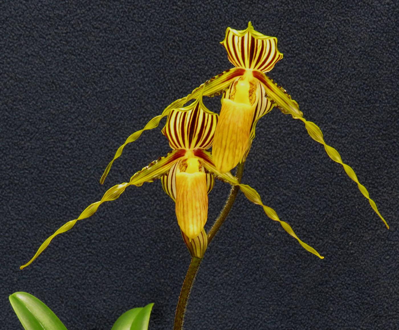Paphiopedilum (Paph.) gladuliferum var. praestans
