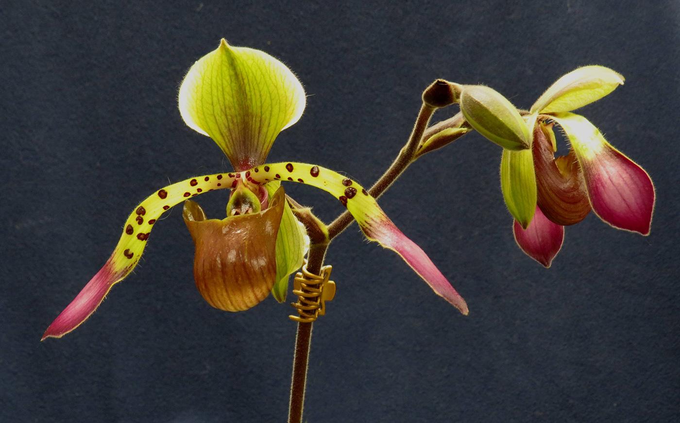 Paphiopedilum (Paph.) lowii 'Jamboree Violet'