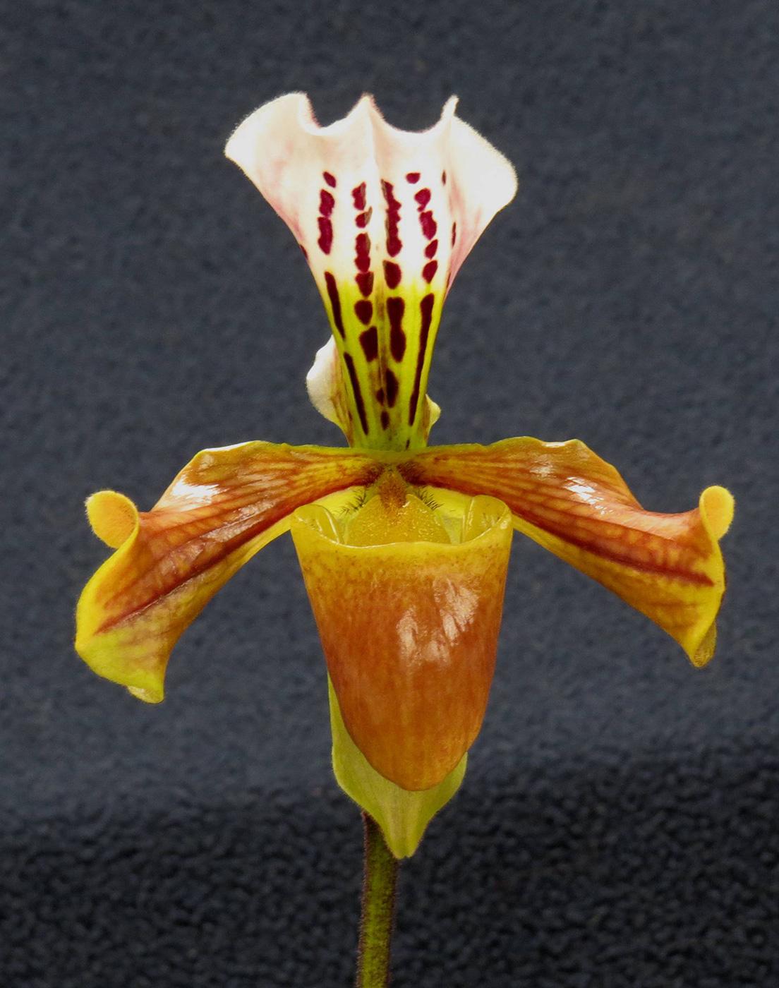 Paphiopedilum (Paph.) noid
