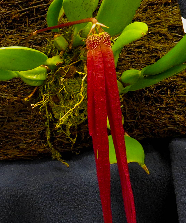 2019 Vctoria orchid society spring show schedule