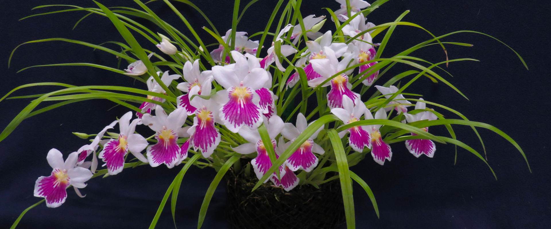 About us - Victoria Orchid Society