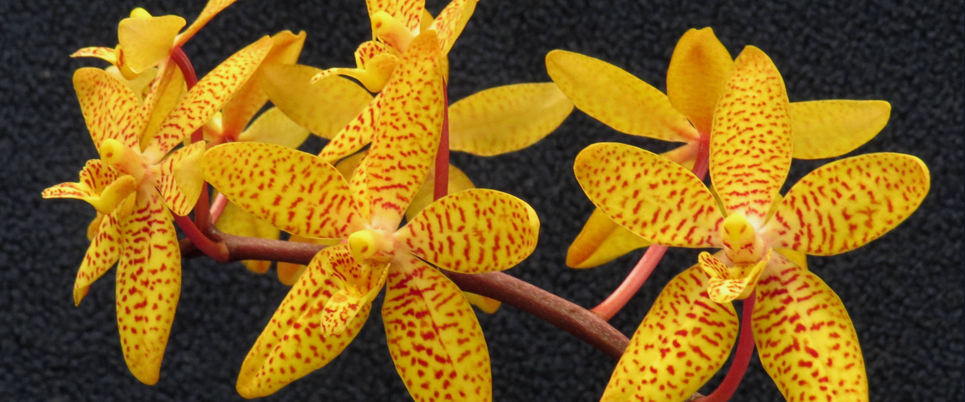 Orchid Show, Victoria BC - Rules and Regulations