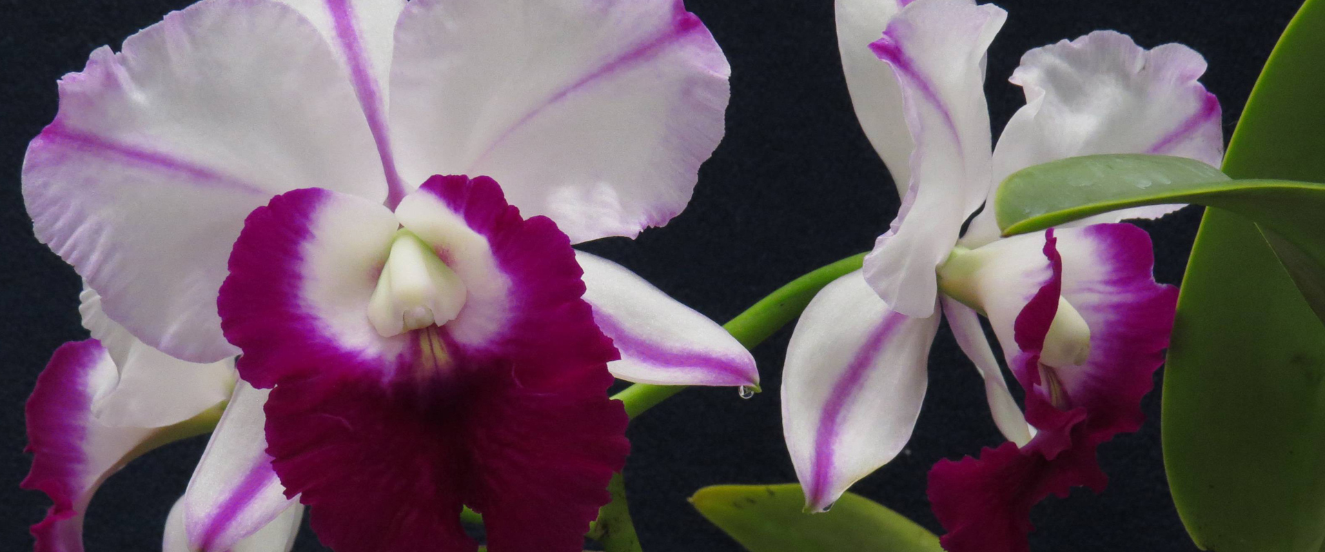Victoria orchid society spring show schedule header